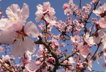 "Almond Blossoms, A Real Visual Spectacle Known as ""Majo..."